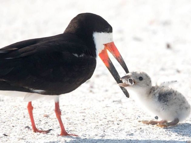 Η εικόνα αυτού του πουλιού να ταΐζει το μωρό του είναι ότι πιο τραγικό έχουμε δει