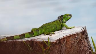 A green iguana rests on a tree stump at C.B. Smith park on Wednesday, May 8, 2019, in Pembroke Pines, Fla. As summer approaches more and more iguanas start to take over south Florida. They are known to be an invasive species, causing homeowner and sea wall damage along with carrying disease. (AP Photo/Brynn Anderson)