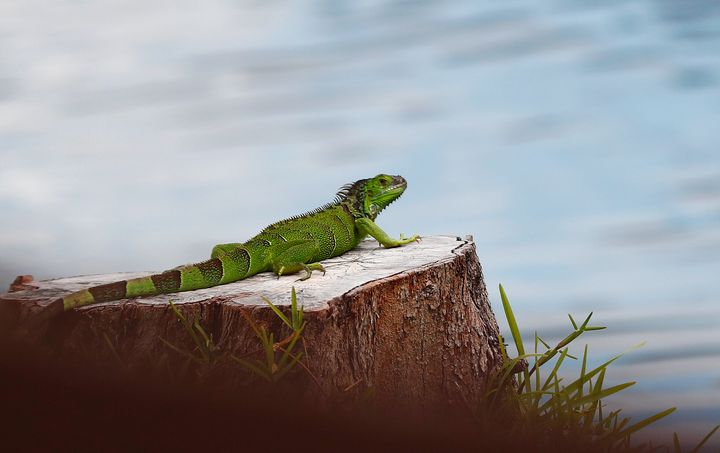 Green iguanas can live up to 10 years in the wild and lay from 14 to 76 eggs at a time.