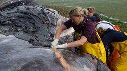 Une nécropsie confirme qu'une autre baleine été tuée par un
