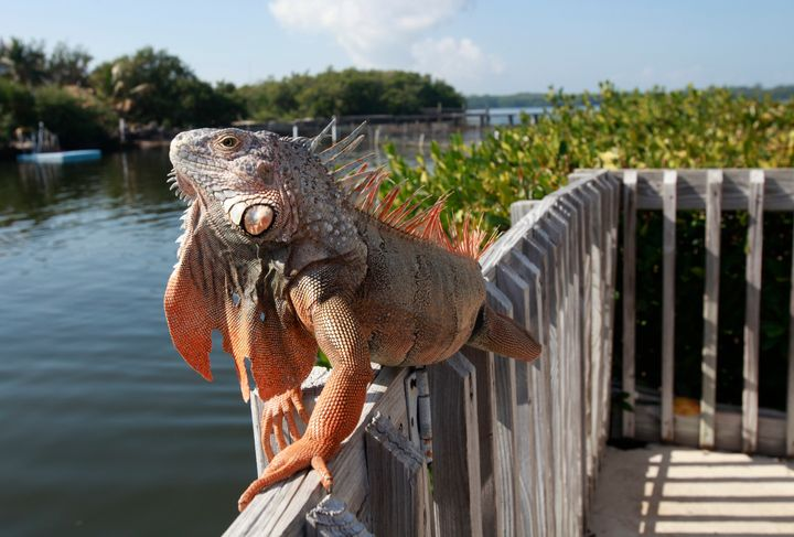 Florida Fish and Wildlife Conservation Commission officials are asking residents to humanely kill these invasive green iguana