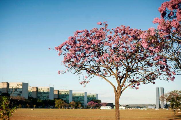 Brasília recebe a linda temporada dos ipês