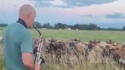 信じられない光景。牛の大群がサックスの演奏に聴き惚れて大集合