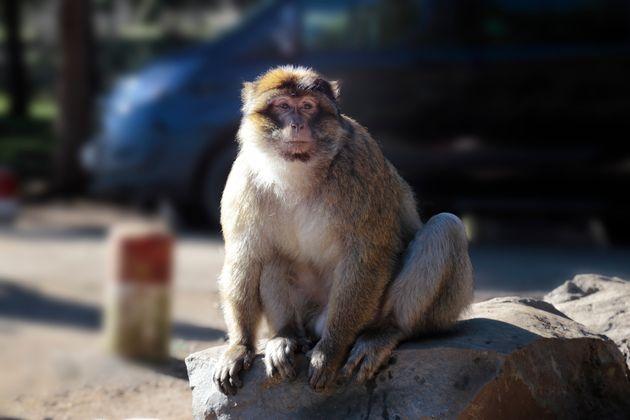 À Ifrane, un atelier de formation sur la protection du singe