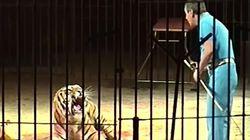 Stava addestrando 4 tigri per uno spettacolo: domatore di un circo Orfei morto