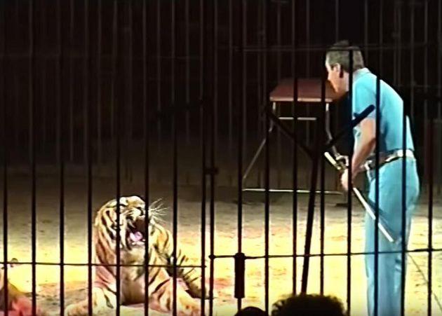Domatore di un circo Orfei ucciso dalle tigri. Le stava addestrando per uno