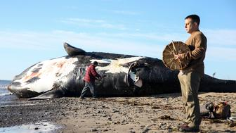 MISCOU ISLAND, NB - JUNE 7: Patrick Goguen, right, an Acadian from Moncton, beats on a drum while Noel Milliea, an elder from Elsipogtog First Nation, performs a ceremony on the dead right whale to honor the animal's spirit before a necropsy is performed on June 7, 2019. This North Atlantic right whale - among the most endangered species on the planet - was known by researchers as Wolverine, for three propeller cuts on its tailstock that reminded them of the trio of blades used by the comic book character of the same name. In its short life of nine years, journeying through thousands of miles of dense fishing grounds, the whale had endured at least one vessel strike and three entanglements in fishing gear. Now, Wolverine was decomposing on a grassy beach at the northernmost tip of New Brunswicks Acadian peninsula, its large, black fins inert in the salty air, its wide fluke tangled in red rope that the Canadian Coast Guard used to haul its carcass in from the frigid waters of the Gulf of St. Lawrence. The death of even one of the mammals poses a grave threat to the species, given how few remain. But almost as notable is that Wolverine was here at all. Until recently, right whales were seldom seen this far north. Now about a third of the species regularly comes to feed in these frigid waters. It has proved to be a very dangerous migration. (Photo by Nathan Klima for The Boston Globe via Getty Images)