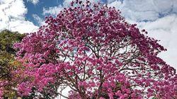 Explosão de cores: Brasília recebe a linda temporada dos ipês no