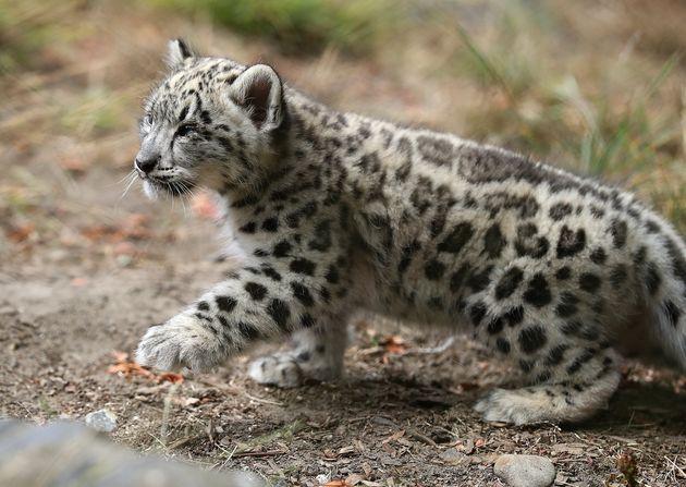 Βρετανία: Σπάνια μωρά λεοπάρδαλης του χιονιού μαγνητίζουν τα βλέμματα σε ζωολογικό