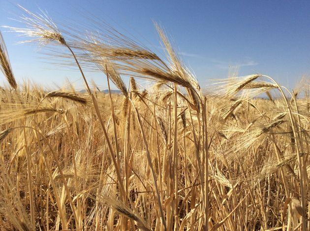 La récolte des céréales s'élève cette année à 21 millions 322 mille