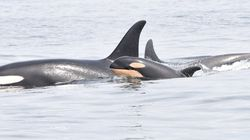 Southern Resident Orcas Spotted With Tiny New Calf Off B.C.
