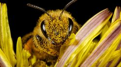 Agriculture Department Suspends Critical Tracking Of Plunging Honey Bee