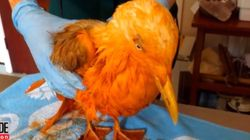 Γλάρος καλύφθηκε με κάρυ και μεταμορφώθηκε σε εξωτικό πουλί - Πώς τους κορόιδεψε