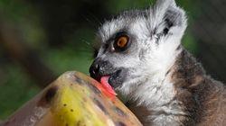 Καλιφορνέζος έκλεψε λεμούριο από ζωολογικό κήπο για να τον κρατήσει για