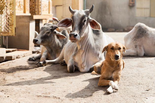 インドの道端に悠然と座り込む牛たち