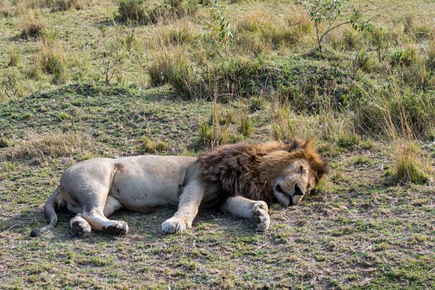 Male lions are notorious for not contributing much to their