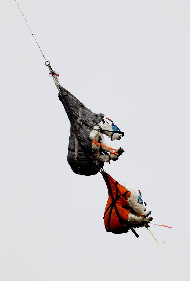 A pair of mountain goats, including a billy, top, and a nanny, hang in slings as they are airlifted by