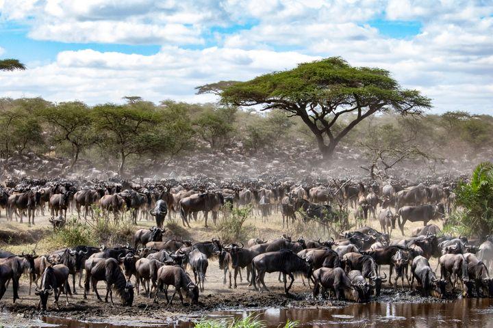 O Serengeti é patrimônio mundial da Unesco.
