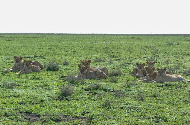 Além de leões, outro animais como hipopótamos, elefantes, hienas e girafas podem...