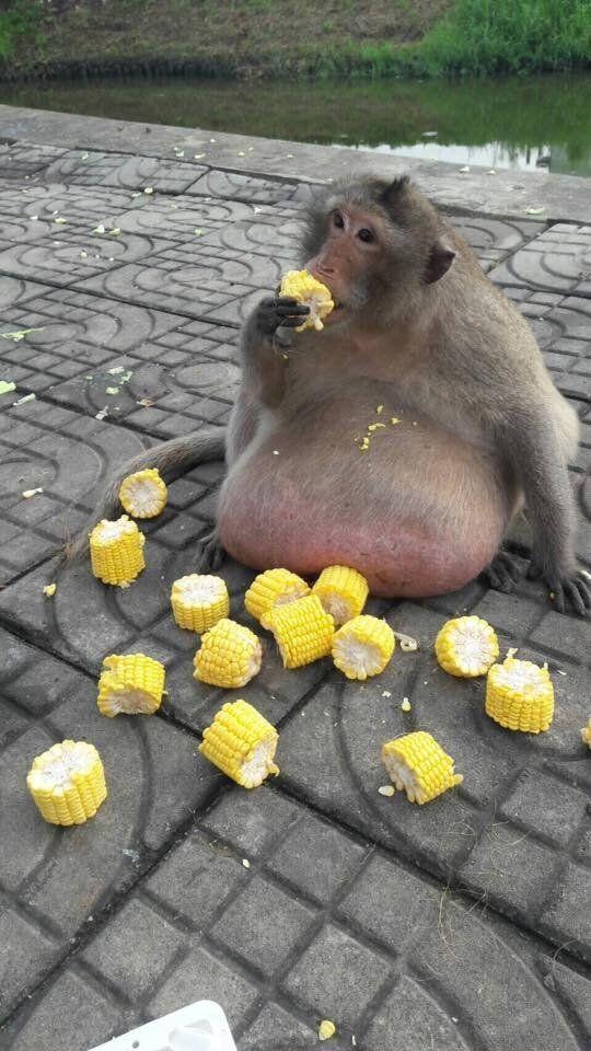 사람들이 던져준 간식 먹다가 초고도비만이 된 원숭이의