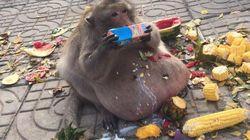 사람들이 준 간식 먹다가 초고도비만이 된 원숭이의