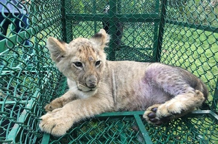 A lion cub was detected in India by the Wildlife Crime Control Bureau and West Bengal Forest Department on its way to the Uni