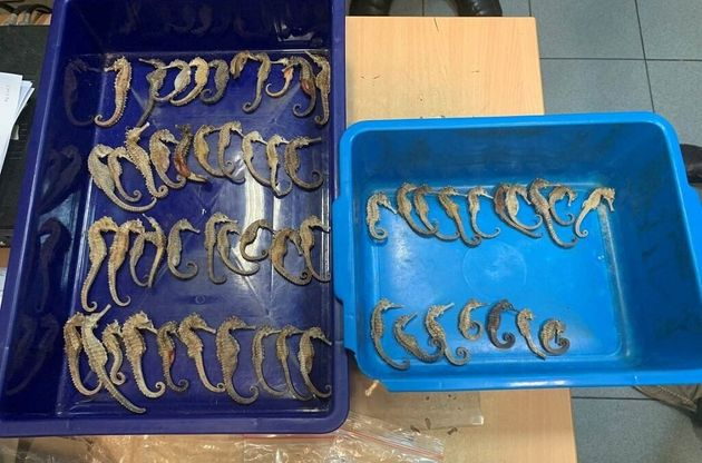Dried seahorses being smuggled from Indonesia to Vietnam were detected by airport customs during X-ray...