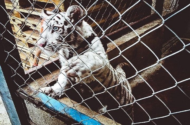 Road inspections by Mexico's Fiscalia General de la Republica intercepted this white tiger cub concealed in a pickup va
