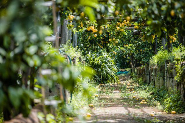 Limoni in festa nella costiera sorrentina meno caotica: Massa Lubrense invita a un weekend fra sole,...