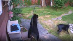 C'è un orso in giardino. Il cane impavido lo affronta e lo mette in