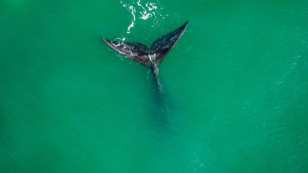 TOPSHOT - A Southern Right Whale (Eubalaena australis) is seen at Ribanceira Beach, Imbituba, Santa Catarina state, Brazil on July 09, 2019. - The Southern Right Whale is coming from Antartica in this time of the year. (Photo by EDUARDO VALENTE / AFP)        (Photo credit should read EDUARDO VALENTE/AFP/Getty Images)
