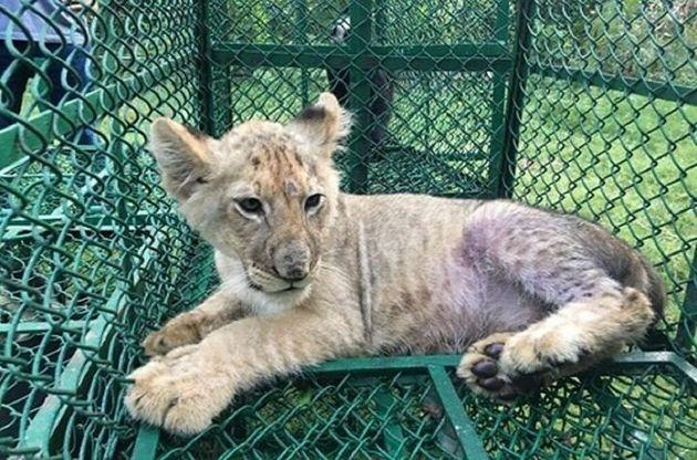 방글라데시에서 영국으로 가던 중 야생동물범죄통제국과 서벵갈삼립국에게 적발된 새끼