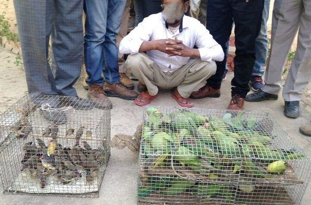 인도의 야생동물범죄통제국의 도로 검문소에서 압수된 살아있는 앵무새와