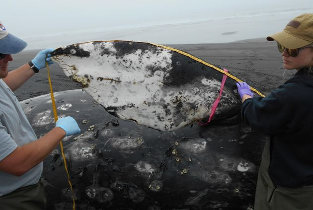 Members of a necropsy team measure the pectoral fin of a dead gray whale found at Surfers Beach on Kodiak...
