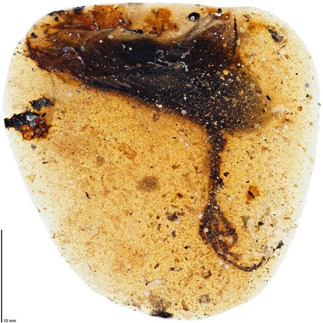 Προϊστορικό πουλί 99 εκατ. ετών βρέθηκε απολιθωμένο σε