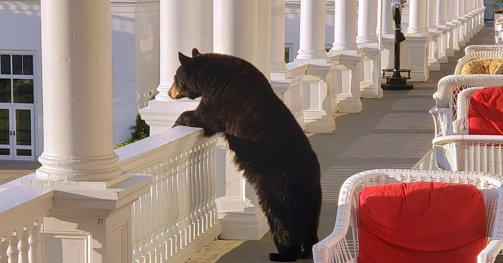 Westlake Legal Group 5d29fcb62600004a00044584 Glamorous Bear Watches Sunrise From Hotel Veranda
