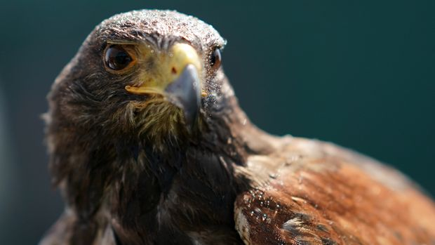 Rufus the Harris Hawk who is used to keep pigeons away from the grounds on day five of the Wimbledon Championships at the All England Lawn Tennis and Croquet Club, Wimbledon. (Photo by John Walton/PA Images via Getty Images)