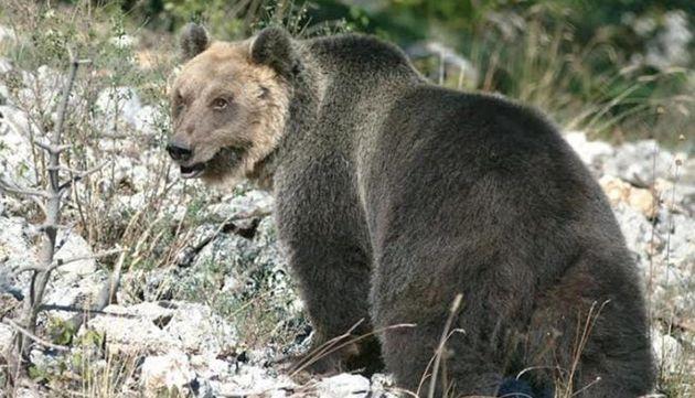 Catturato e rinchiuso, l'orso M49 scappa scavalcando un muro