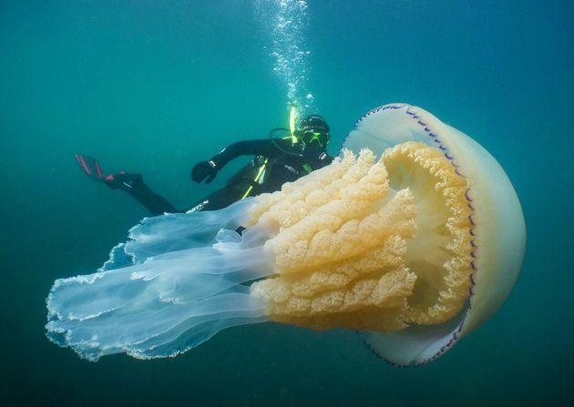 Diver Dwarfed By Enormous Barrel Jellyfish Off Cornwall Coast