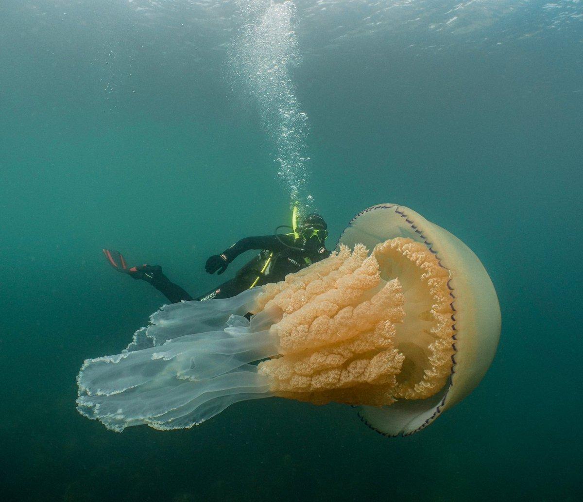 Wildlife Biologist Spots Giant Jellyfish The ...