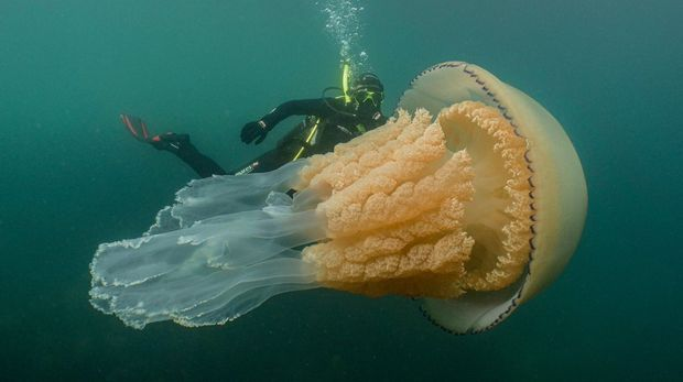 wildlife-biologist-spots-breathtaking-human-sized-barrel-jellyfish