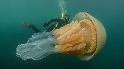 人間サイズの巨大クラゲと一緒に泳いだら、謙虚な気持ちになりました。(動画)