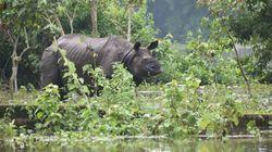 Rare Rhinos In Danger As Flooding Worsens In
