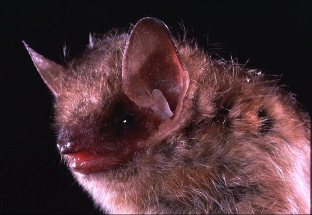 This is an undated closeup photo of the eastern pipistrelle bat, a species that is frequently linked...