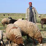 L'UTAP annonce les prix du mouton de l'Aïd: Entre 12 dinars et 12,5 dinars le