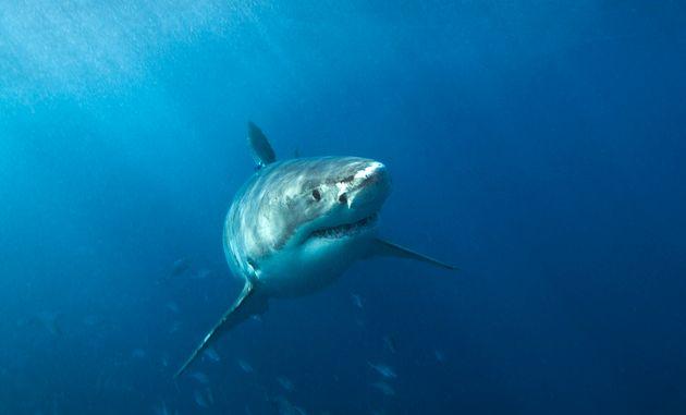 Un grand requin blanc en visite près des Îles-de-la-Madeleine