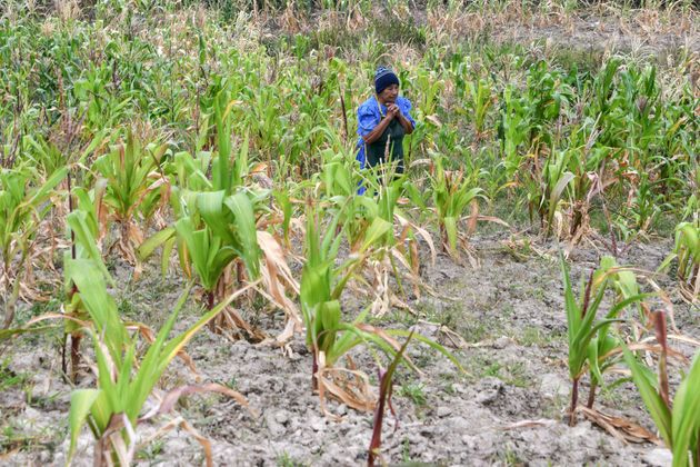 Santos Rodriguez, 70, walks through a cornfield affected by drought in Honduras on Aug. 15,