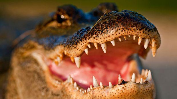 American Alligator Brazos Bend State Park