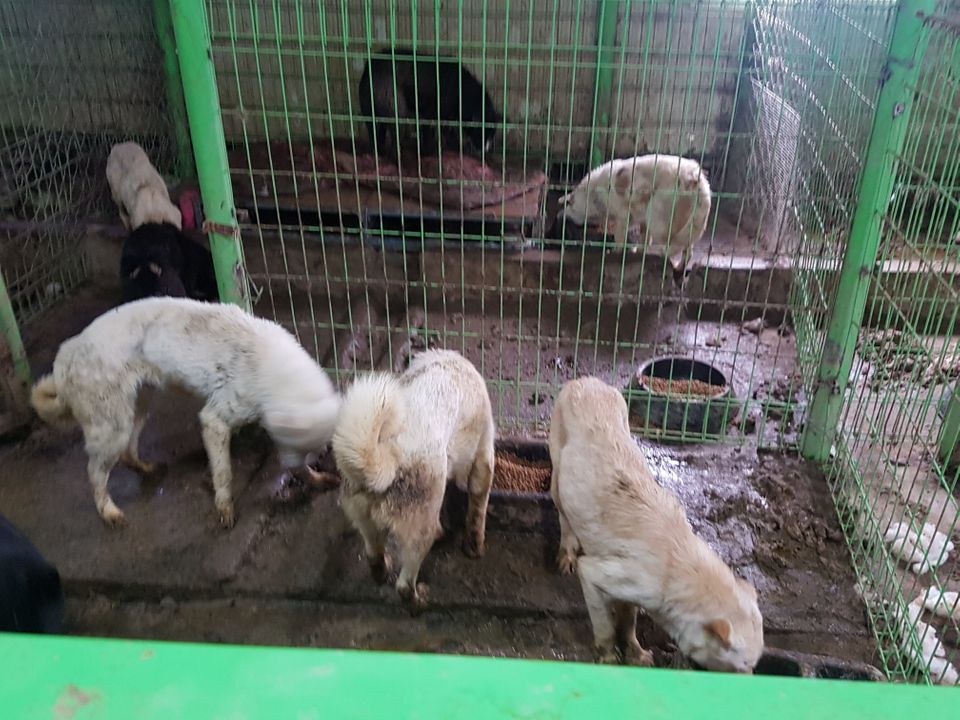'포해피니스'가 보호소를 인수하기 전의 실내 견사. 배설물로 덮인 철창 안에서 개들이 고무 사료통에 담긴 사료를 먹고