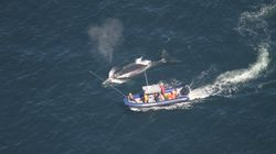 Rescue Efforts Resume To Free Endangered Right Whales Trapped In